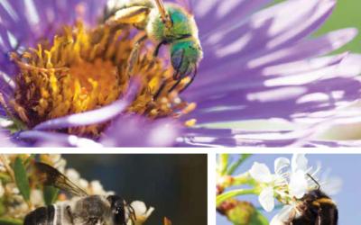 Beneficial Native Pollinators: Most bees aren't bad!